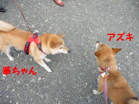 P1260515-AZUKI.jpg