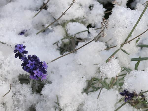 2013 初雪 ラベンダー