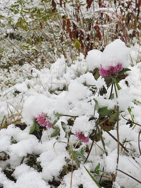 2013 初雪 むらさきチューチュー