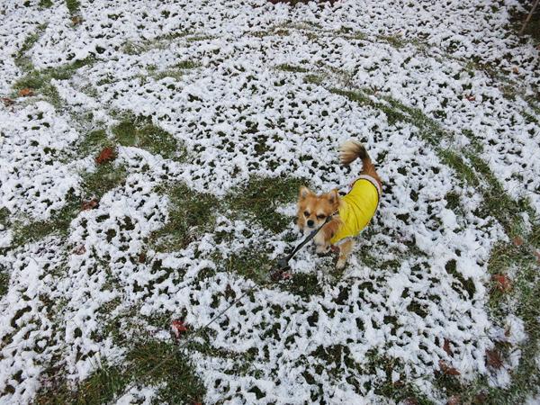 2013 初雪 クマザサ