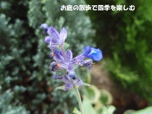 murasaki2.jpg