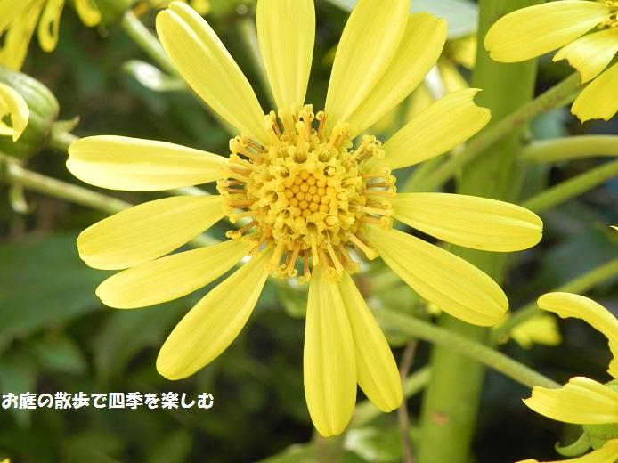 tuwabuki8_2014102023494855f.jpg
