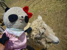 羊のメリーさんとパチリ