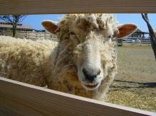 カメラ目線なメリー羊さん