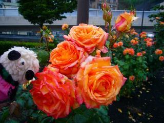 大きなバラとモコちゃん