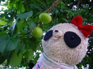 お庭の梅の実