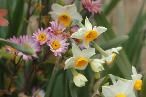 寒菊と水仙