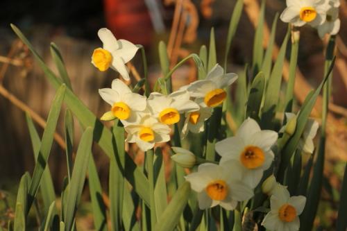 寒咲き日本水仙