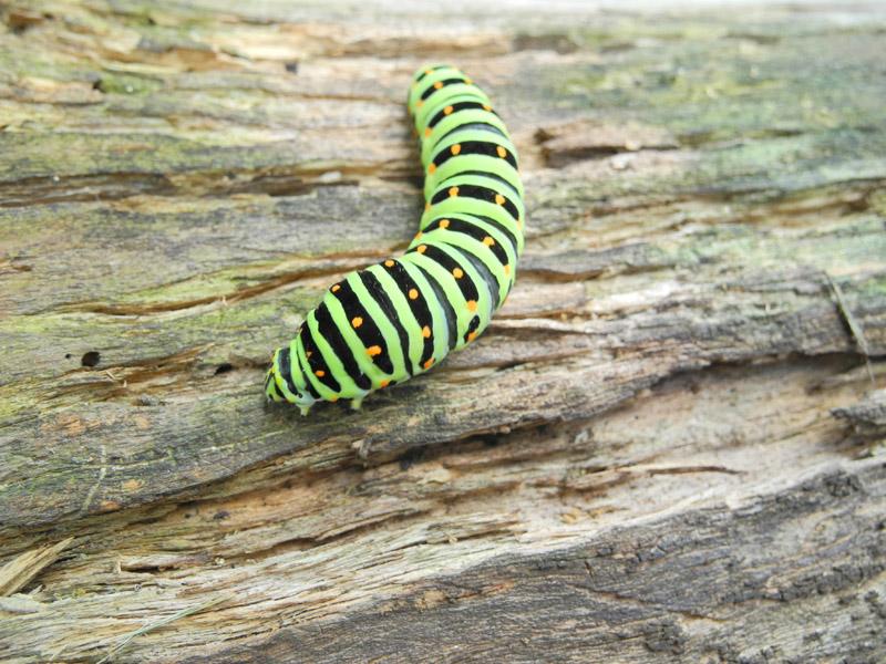 キアゲハ幼虫2