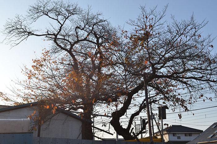 111214:冬桜