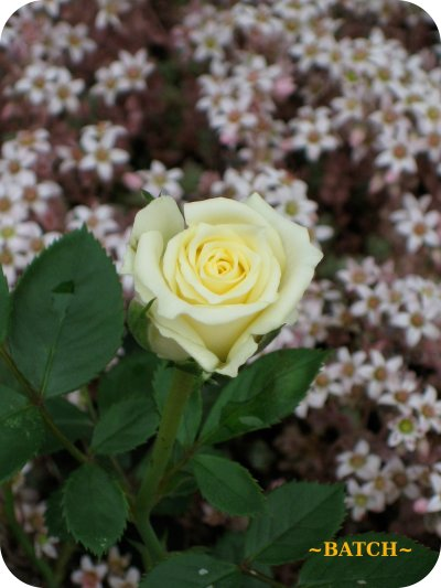 w-rose1.jpg
