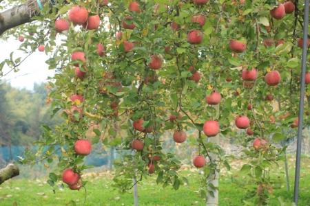 りんご。_800
