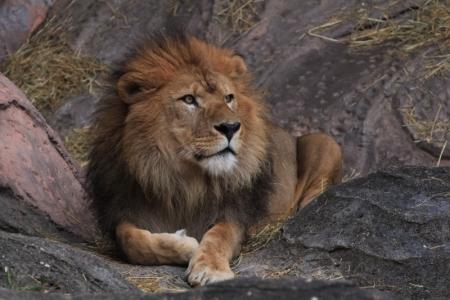 ライオン1。_800