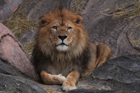 ライオン2_800