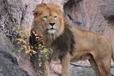 ライオン3_800