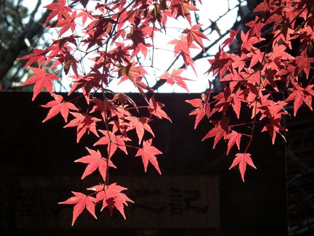 2013年 松戸・東漸寺の紅葉(7)