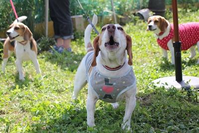 beagles-20120617-bsan01.jpg