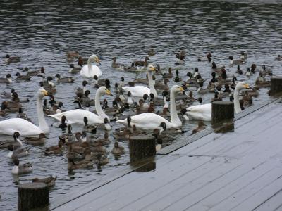 swan-20111119.jpg