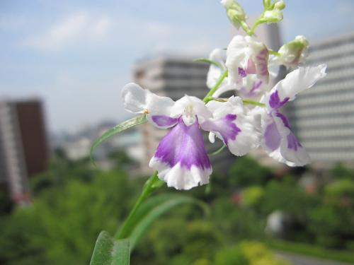 20100608羽蝶蘭5