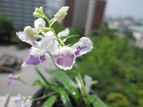 20100608羽蝶蘭4