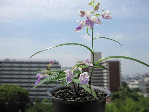 20100608羽蝶蘭1