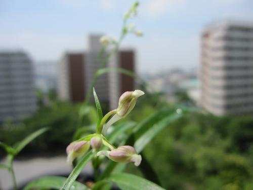 20100608羽蝶蘭6