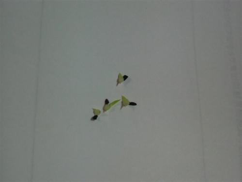 20090618ハオ発芽3