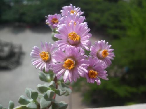 20090521白鳳菊3