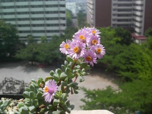 20090521白鳳菊2
