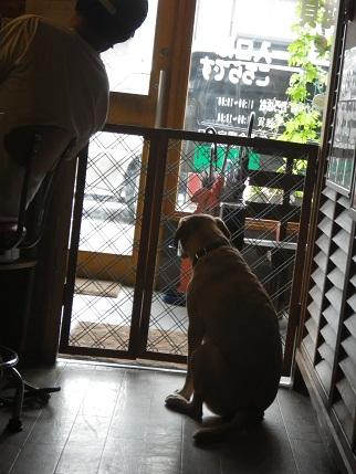 はなちゃん、、誰か来たよ。。さすがは看板犬。。