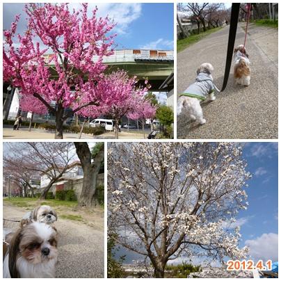 120401_tc_momogaike_01.jpg
