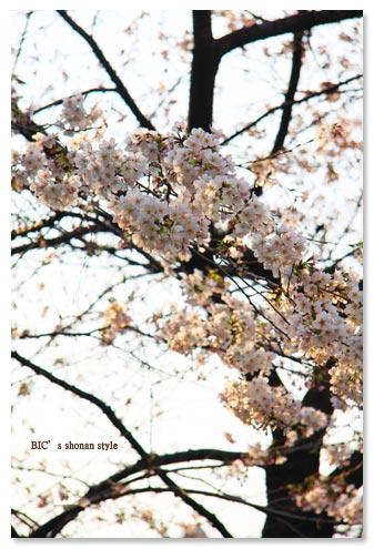 目黒川,お花見