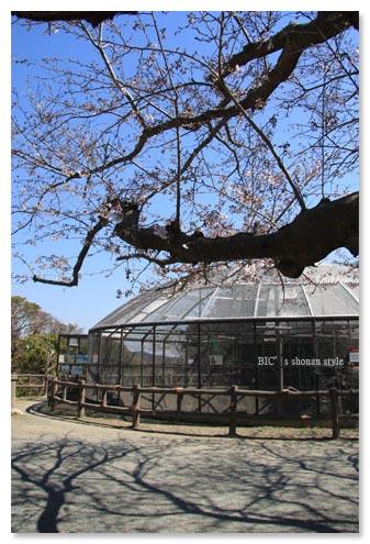 披露山,桜