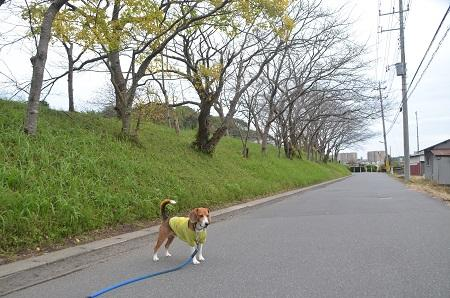 20141102佐倉城址公園32
