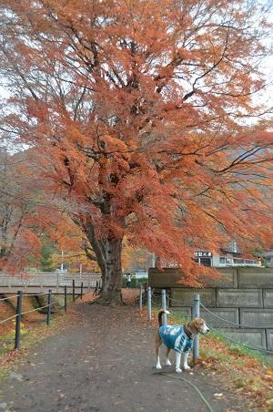 20141130河口湖紅葉の回廊10
