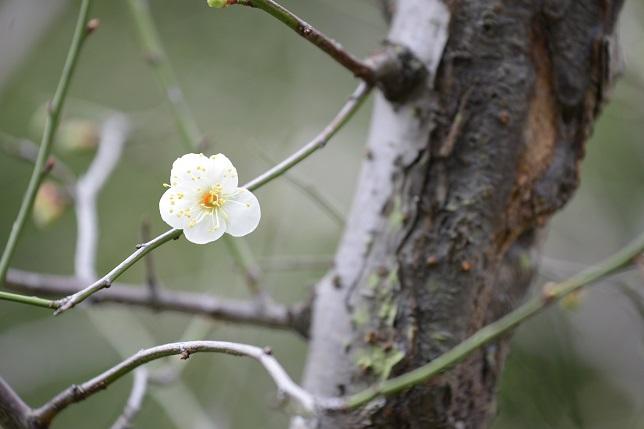 梅が咲いた(1)