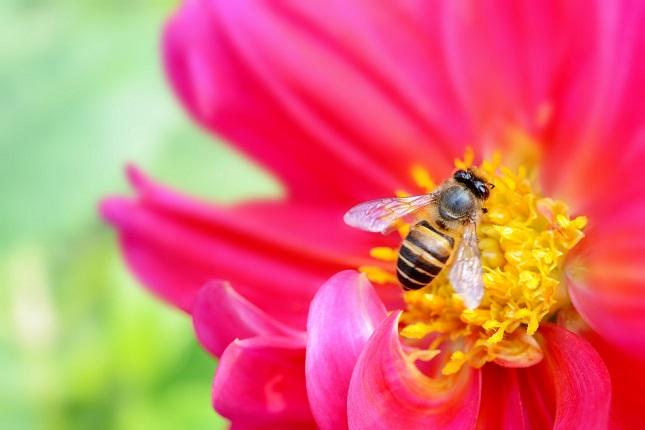ダリアとミツバチ(4)