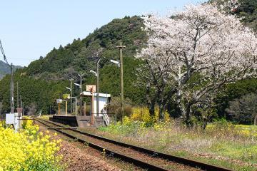 桜情景2012_駒鳴(1)