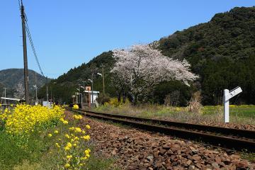 桜情景2012_駒鳴(3)