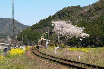 桜情景2012_駒鳴(4)