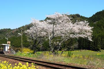 桜情景2012_駒鳴(5)