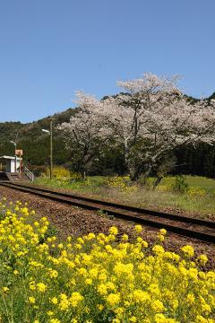 桜情景2012_駒鳴(13)