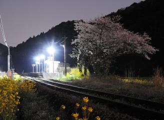 桜情景2012_駒鳴(15)