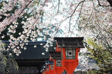 京都桜紀行2012(1)