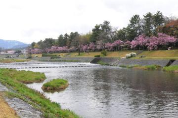 京都桜紀行2012(2)