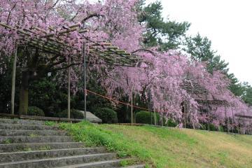 京都桜紀行2012(5)