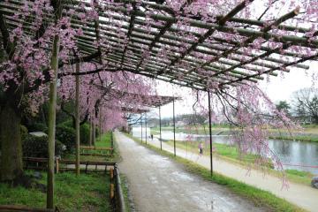 京都桜紀行2012(6)