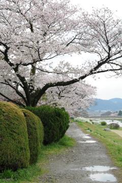京都桜紀行2012(9)