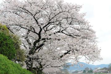 京都桜紀行2012(11)
