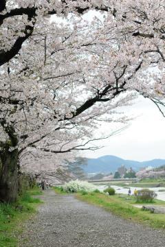 京都桜紀行2012(12)